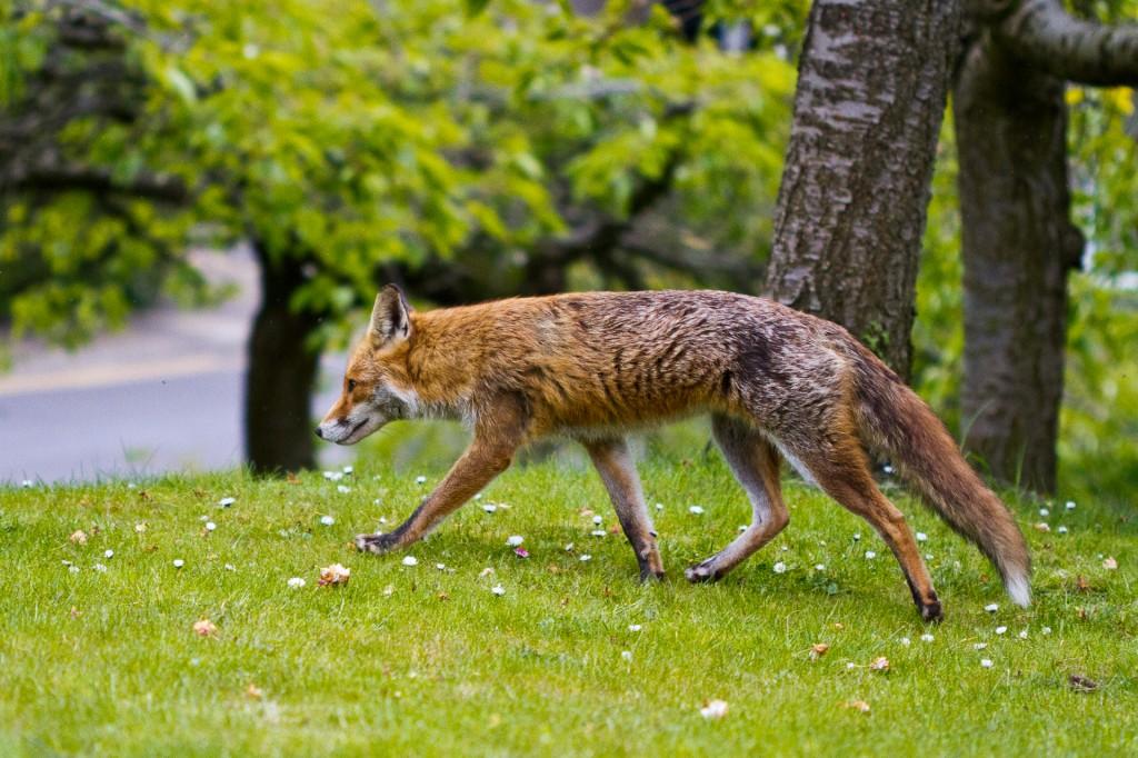 My First Ever Wild Fox