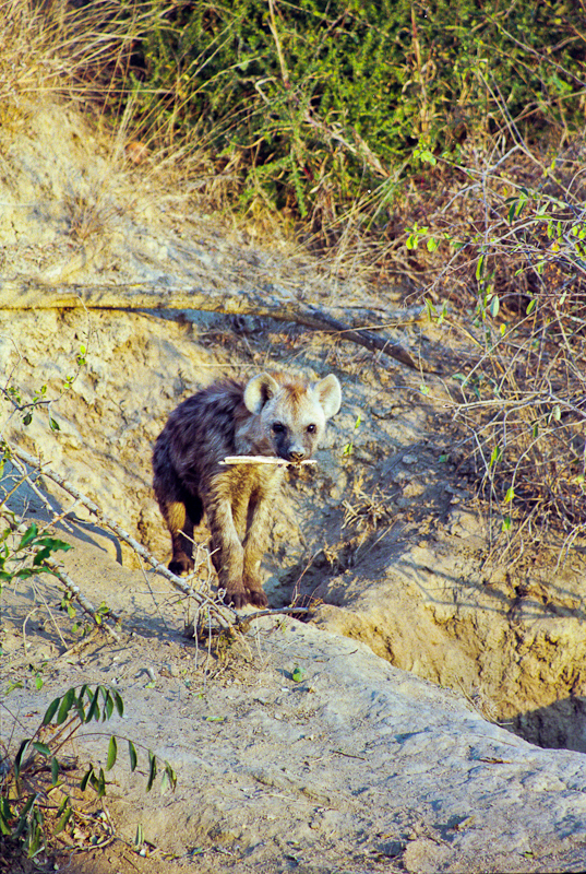 Ed The Hyena And His Stick