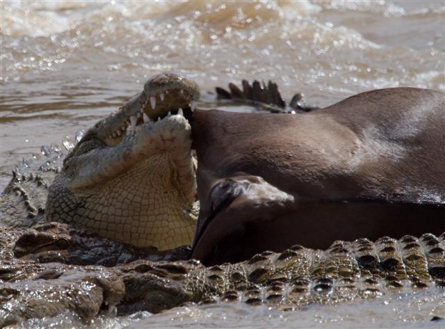 A crocodile eats a wildebeest carcass
