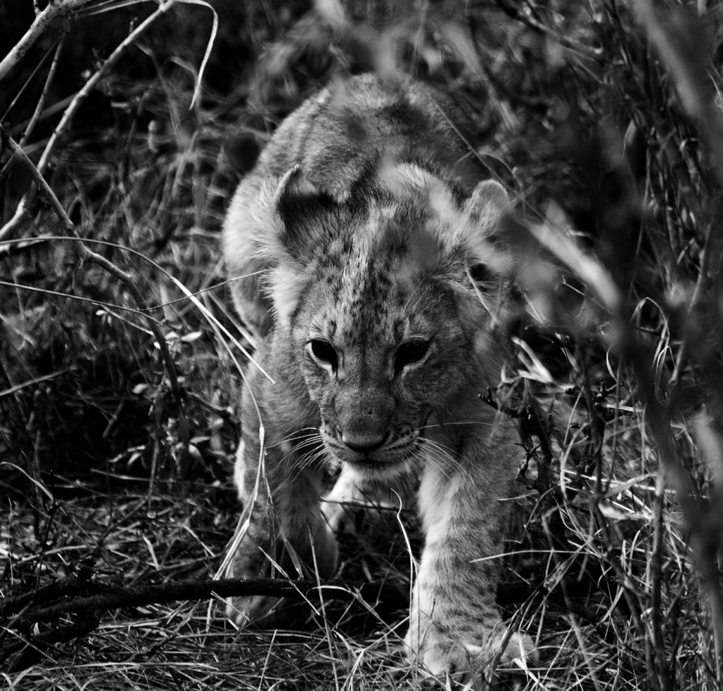 A Curious Lion Cub in Black and White