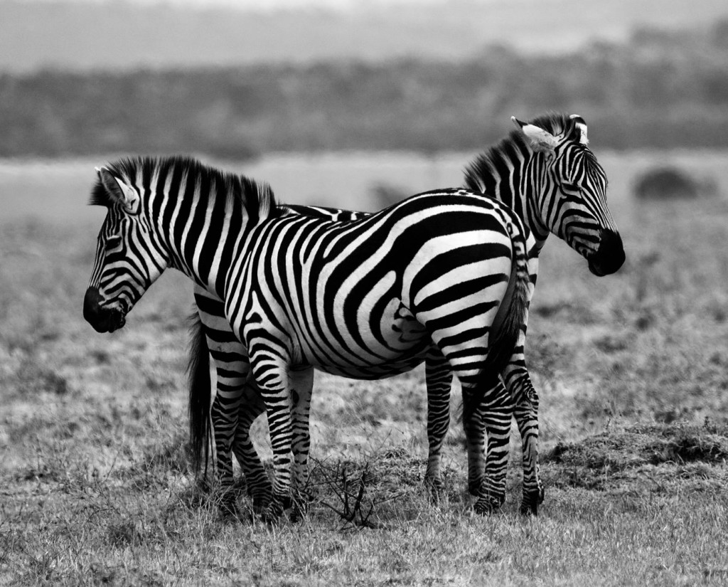 Two zebras stand side by side