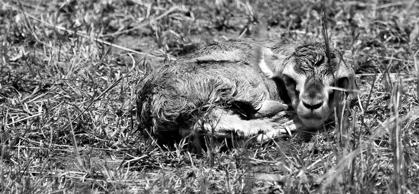 Fawn, Abandoned. In Black and White.