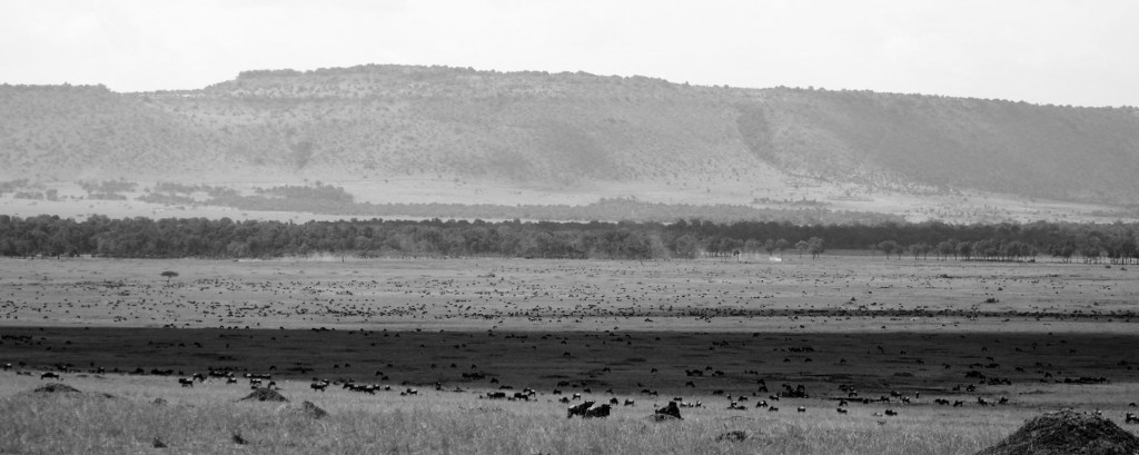 herds of zebra and wildebeest as part of the great migration