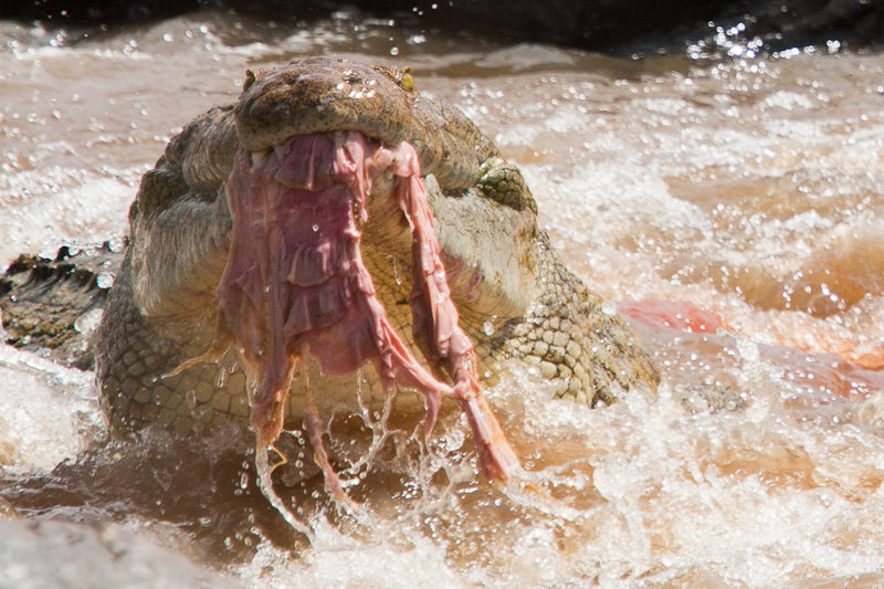 A close up of a crocodile with wildebeest entrails