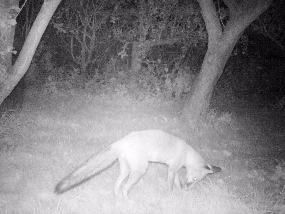 A fox in our garden